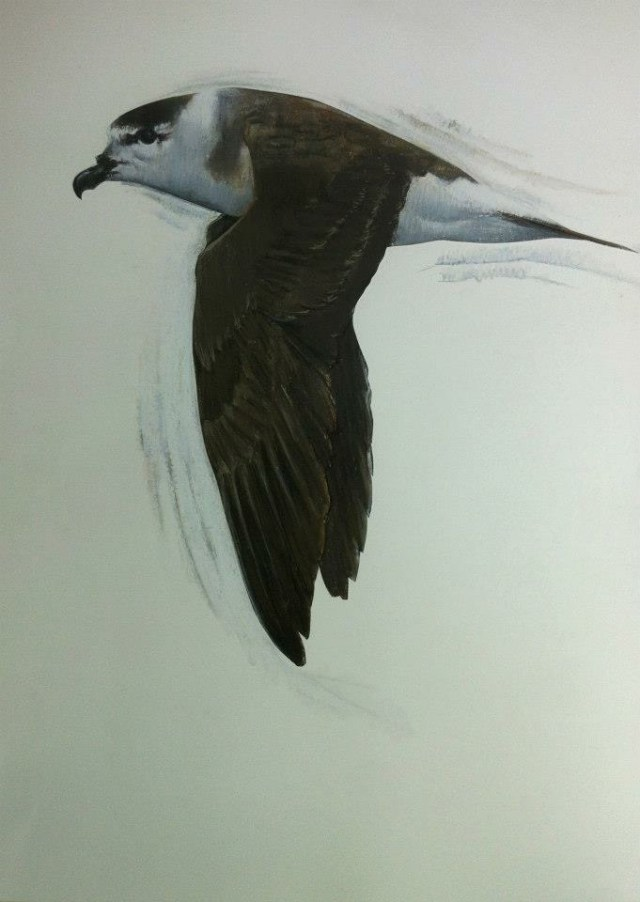 6.  Black-Capped Petrel