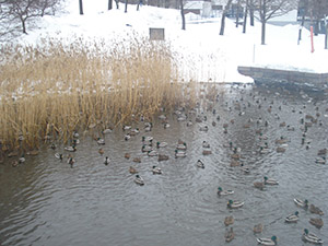 Patos en el parque de Kaisaniemi