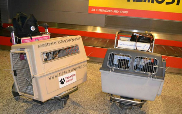 Perros de Espanjan Koirat llegando a Finlandia