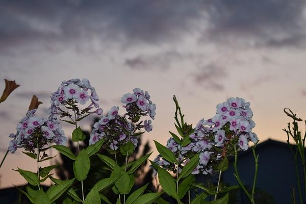 flores atardecer