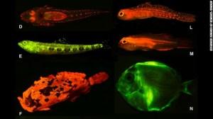 Sur Voit ici SONT:. D) à plaque tête (Cociella hutchinsi), E) lézard (Saurida gracilis), F) frogfish (Antennarius maculatus), L) gobie (Eviota sp), M) Gobiidae (Eviota atriventris), N) Chirurgiens (Acanthurus coeruleus, Larves)
