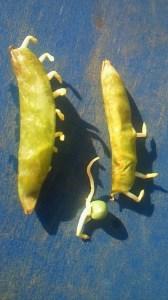 Des fèves qui germent avant d'être cueillies. On dirait qu'elles vont finir par marcher.