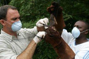 Recherche d'un réservoir de virus ebola au Gabon.