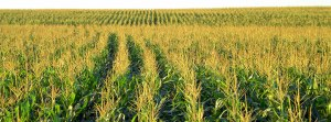 Champ de maïs BT...une monstruosité qui nous vient de Monsanto.