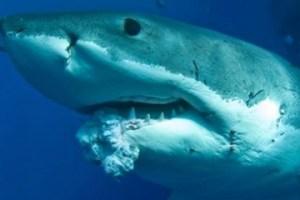 De plus en plus de terribles tumeurs  sont découvertes  chez les grands requins blancs du Pacifique...depuis  le désastre nucléaire de Fukushima.