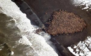 35-000-morses-echoues-sur-une-plage-en-alaska_002