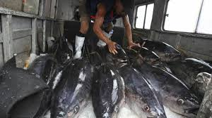 Les thons rapportés par les pêcheurs américains...sont tous irradiés....au minimum de 3 fois la dose normale.