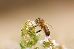 Une abeille sur une fleur de thym.