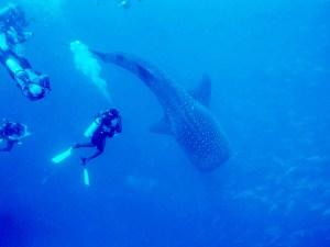 Dans la Barrière de Corails de Bélize ,on trouve de fantastiques requins.