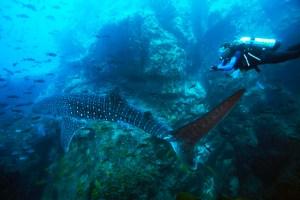 Les eaux au large de l'île Cocos au Costa Rica sont une plongée plongeurs rêvent et qu'ils sont riches avec une variété de vie marine. Les eaux profondes qui entourent l'île, quelque 340 miles de la côte du Costa Rica, regorgent de raies, dauphins, tortues et, plus impressionnant encore, les grandes écoles de requins. Le récif de corail qui entoure l'île attire une grande variété de la faune, qui à son tour, rend les eaux de la terre de chasse idéal pour les requins. Cocos Island, également connu comme «Shark Island, 'est le foyer de requins de récif Whitetip, requins baleines et les requins-marteaux. Le requin-marteau halicorne est le visiteur le plus commun sur les côtes de l'île et, au cours de la saison des pluies (juin-octobre), les écoles de centaines de marteaux peuvent être vus dans les eaux. Un spectacle vraiment spectaculaire et sans doute l'une des merveilles sous-marines du monde.