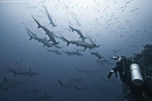 Un banc de requins-marteaux aux iles Cocos.
