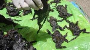 grenouilles-mortes
