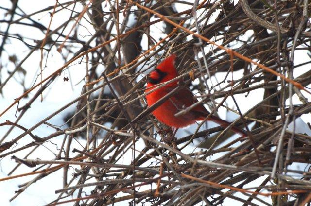 Un cardinal dans ma cour arrière