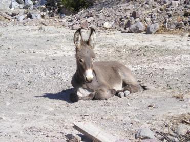 Wild Baby Burro in Oatman, Arizona Photo by Michele Venne