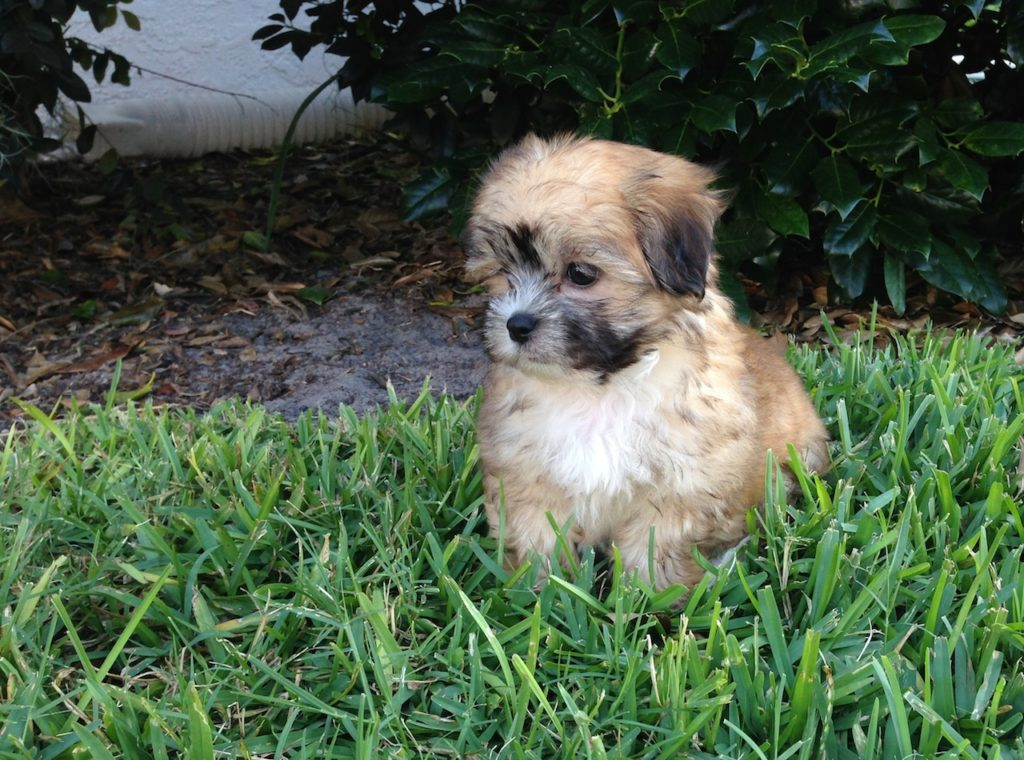 shih tzu maltese mix for sale mal shi or maltese shih tzu puppies for sale in ocala florida 8547
