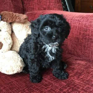 Adorable Black Shipoo Or Shih Tzu Poodle Mix Pup For Sale In Florida