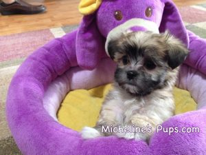Mal Shi maltese shih tzu pups for sale florida