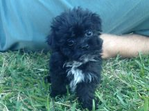 Shih Poo for sale florida 2