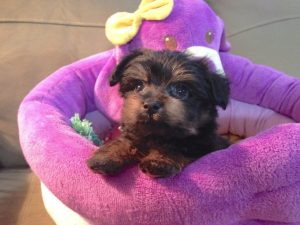 Yorkie Poo Michelines Pups