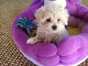 Maltipoo for sale Ocala Florida 2
