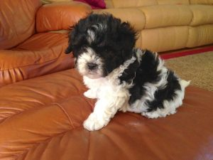 gorgeous black and white maltipoo pup for sale in ocala florida