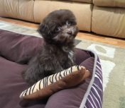 Chocolate Maltipoos for sale ocala florida michelines pups01