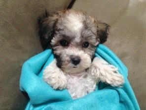 Maltipoo for sale florida michelines pups01