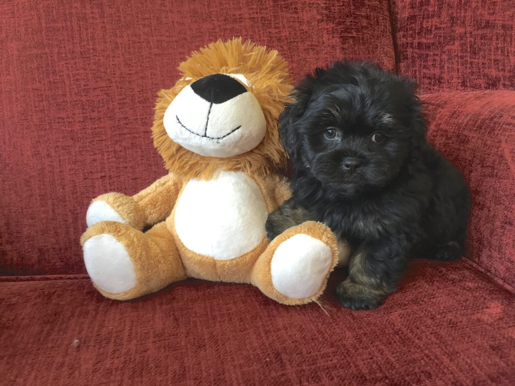 shih tzu poodle mix pups for sale in florida michelines pups1