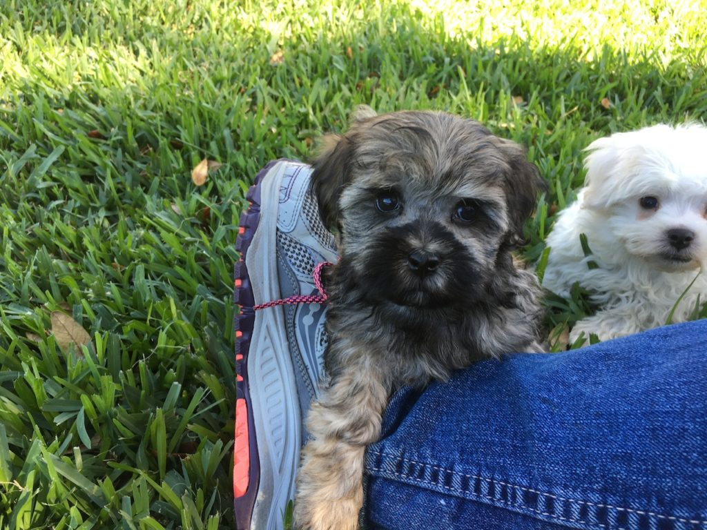 Beautiful sable brown Maltipoo for sale in Florida ...