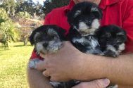 morkie pups florida michelines pups