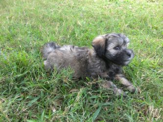 Shih Tzu Poodle pups for sale florida michelines pups