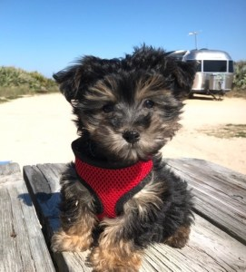 yorkie poo pups for sale michelines pups