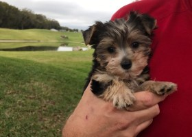 yorkie poo pups florida michelines pups
