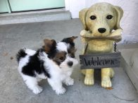 biewer or parti yorkie michelines pups1