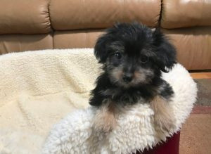 Yorkie Poo Small Sweet And Adorable Rocky Michelines Pups