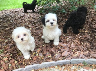 Maltipoos for sale ocala florida michelines pups02