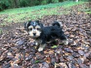 Morkie pup for sale micheline florida1