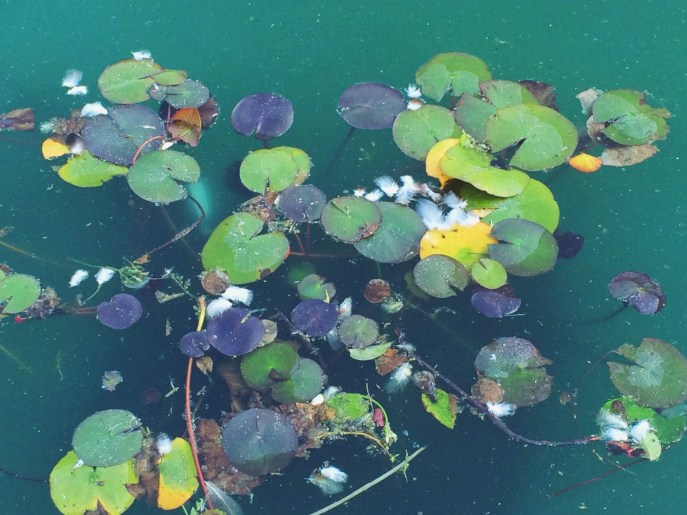 Lillypads at the Oakland Rose Garden.