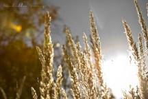 Wheat grass at sunset