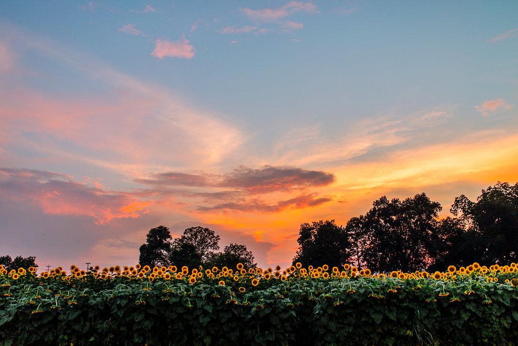 Sunflower-Maternity-Nashville-Tennessee-Field-Batey-Farms-23