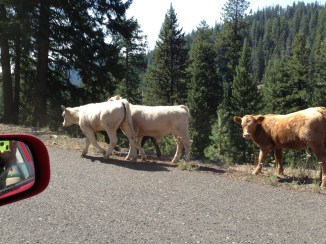 Rogue cattle