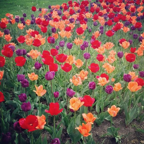 Tip Toe Through The Tulips #photography #newyork #art #pretty #flowers #spring