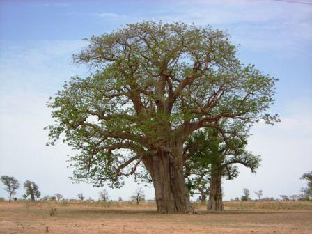 baobab-big-tree-web.jpg