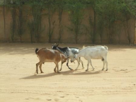 headbutting-goats-web.jpg