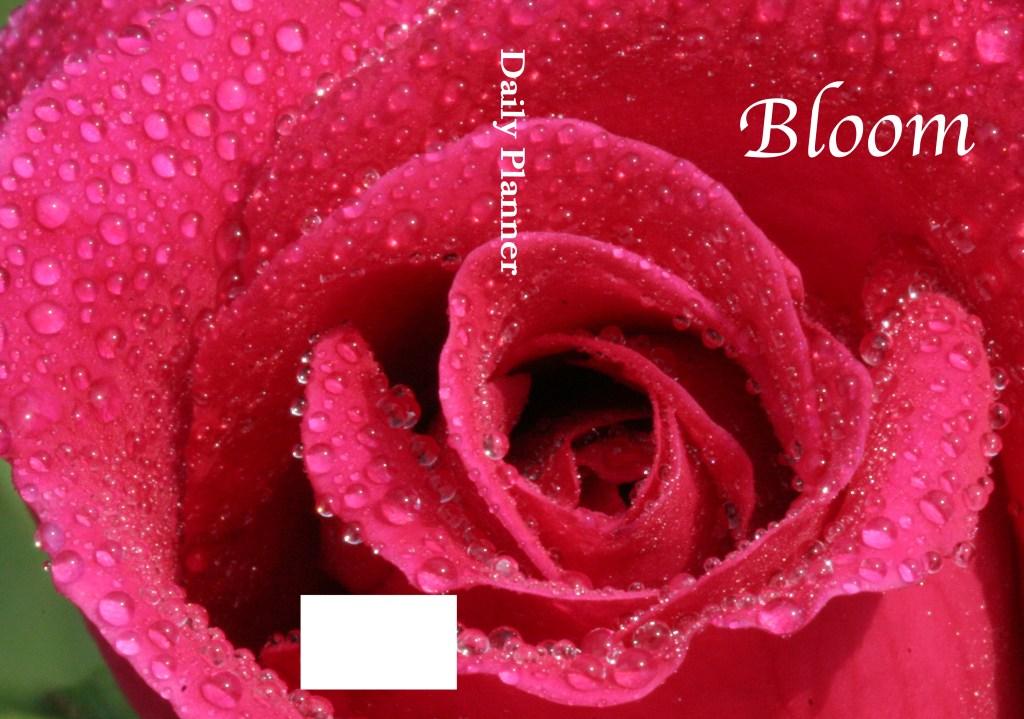 Dewy Dark Pink Rose in Bloom