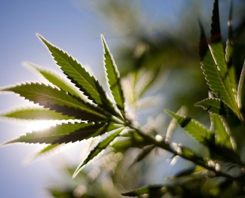 Cannabis in the Sun by David Baker Esq.