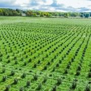 Skymint Cannabis Farms