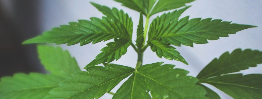 Young cannabis plant growing in pot by Lindsay Fox