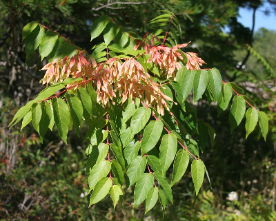 Ailanthus Altissima Michigan Flora