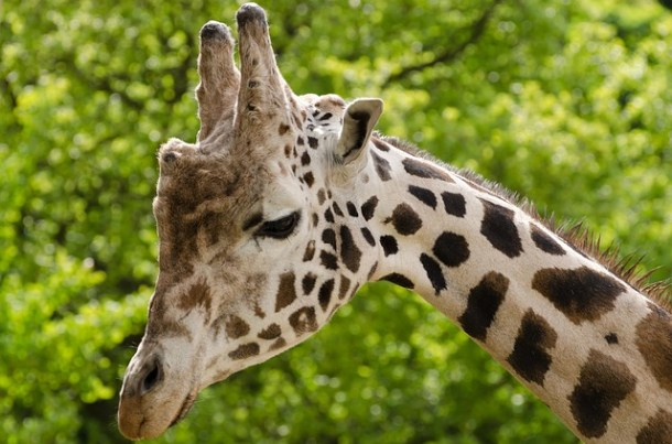 giraffe-165212_640